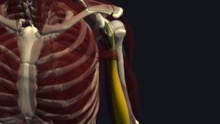 上腕二頭筋の機能解剖