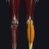 腓腹筋の機能解剖、起始・停止・作用まとめ