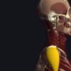 三角筋の機能解剖、起始・停止・作用まとめ