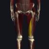 内側広筋の機能解剖、起始・停止・作用まとめ