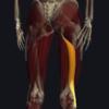 大腿二頭筋の機能解剖、起始・停止・作用まとめ