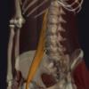 大腰筋の機能解剖、起始・停止・作用まとめ