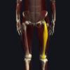 外側広筋の機能解剖、起始・停止・作用まとめ
