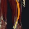 半腱様筋の機能解剖、起始・停止・作用まとめ