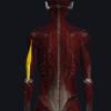 上腕三頭筋の機能解剖、起始・停止・作用まとめ