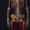 腸骨筋の機能解剖、起始・停止・作用まとめ
